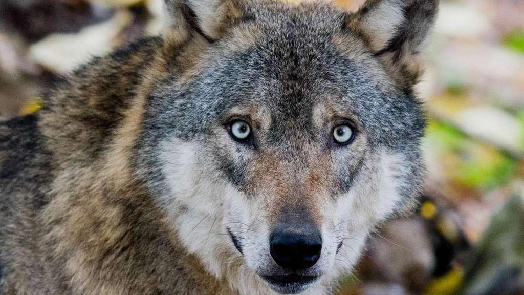 Wunderschön, klug und mit außergewöhnlichem Sozialverhalten – dennoch sorgt der Wolf derzeit in Niedersachsen für heftige Diskussionen. In Brockhimbergen fühlen sich die Bürger von mehreren Wölfen belagert.