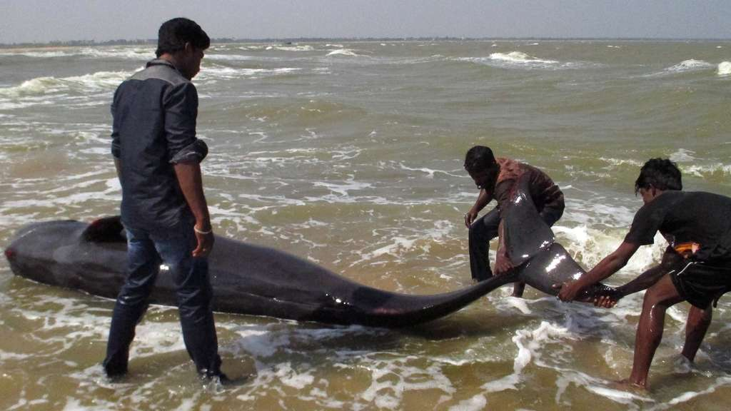 Wale in Tuticorin gestrandet