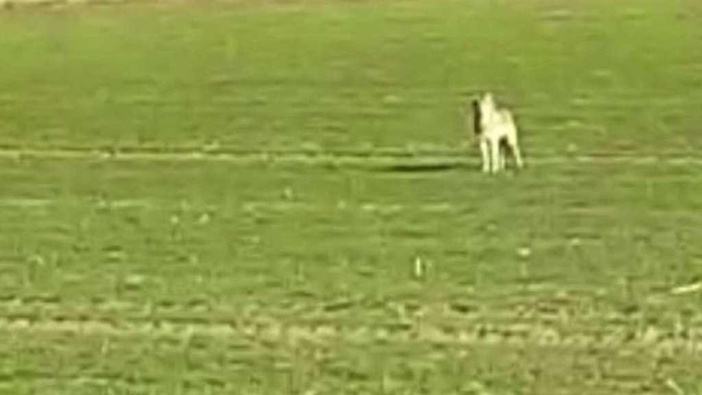 Standbild aus einem Video: Laut Wolfsberater Klaus Bullerjahn war der Wolf 30 Meter entfernt – untypisch für das Tier.