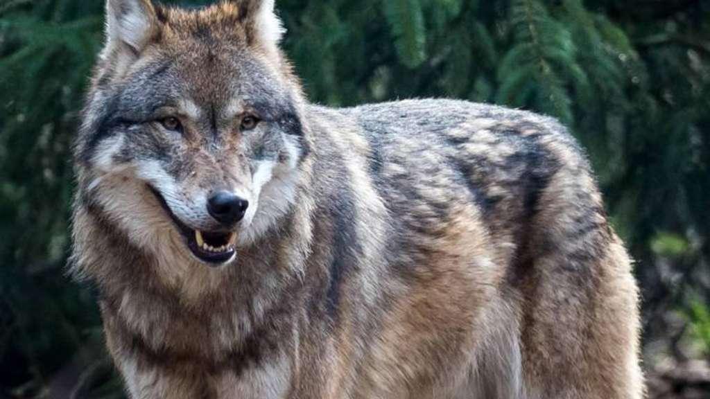 Die Anzahl der in Deutschland frei lebenden Wolfsrudel vergrößert sich. Ein Thema nicht nur für Jäger.