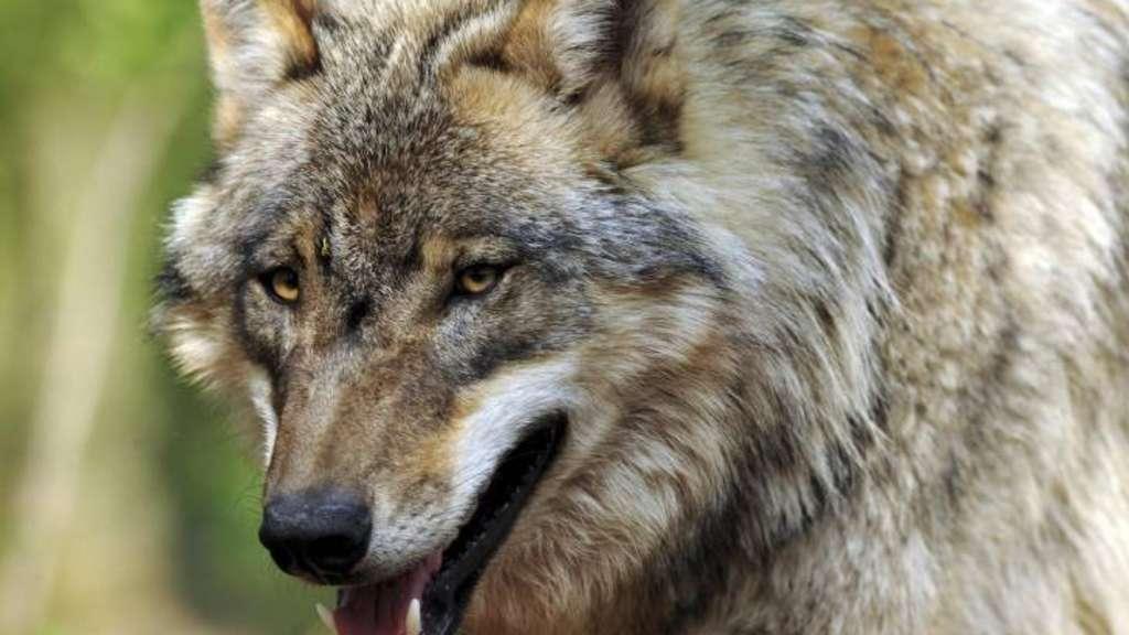 Laut offiziellen Schätzungen leben 80 Wölfe im Land. Sie beschäftigen auch die Kreisjägerschaft.