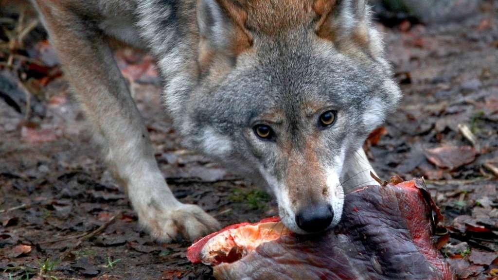 Schäfer sollen für Wolfsopfer entschädigt werden