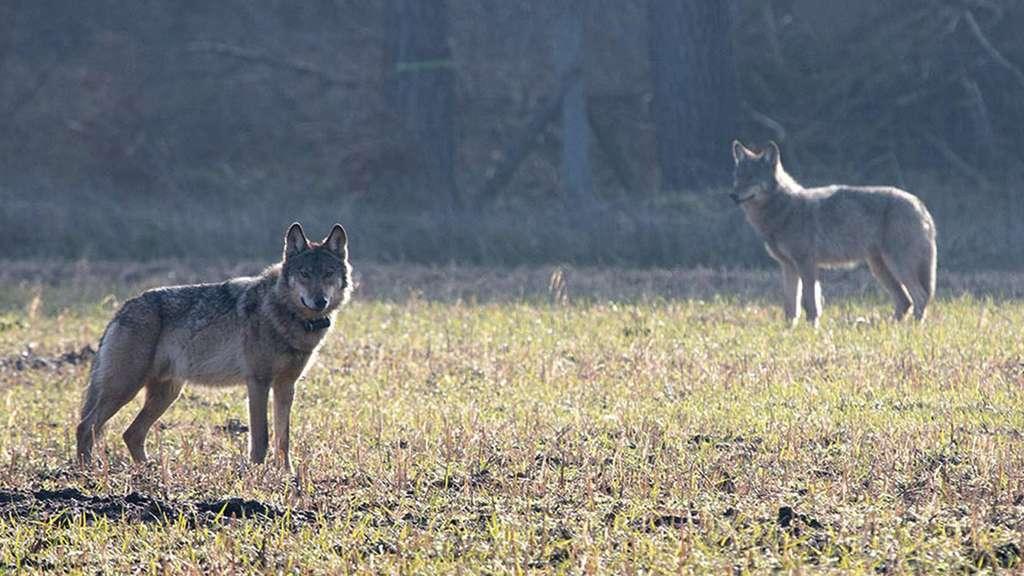 """""""Kurti"""" (links) galt als verhaltensauffällig und wurde als einer der ersten Wölfe in Niedersachsen getötet."""
