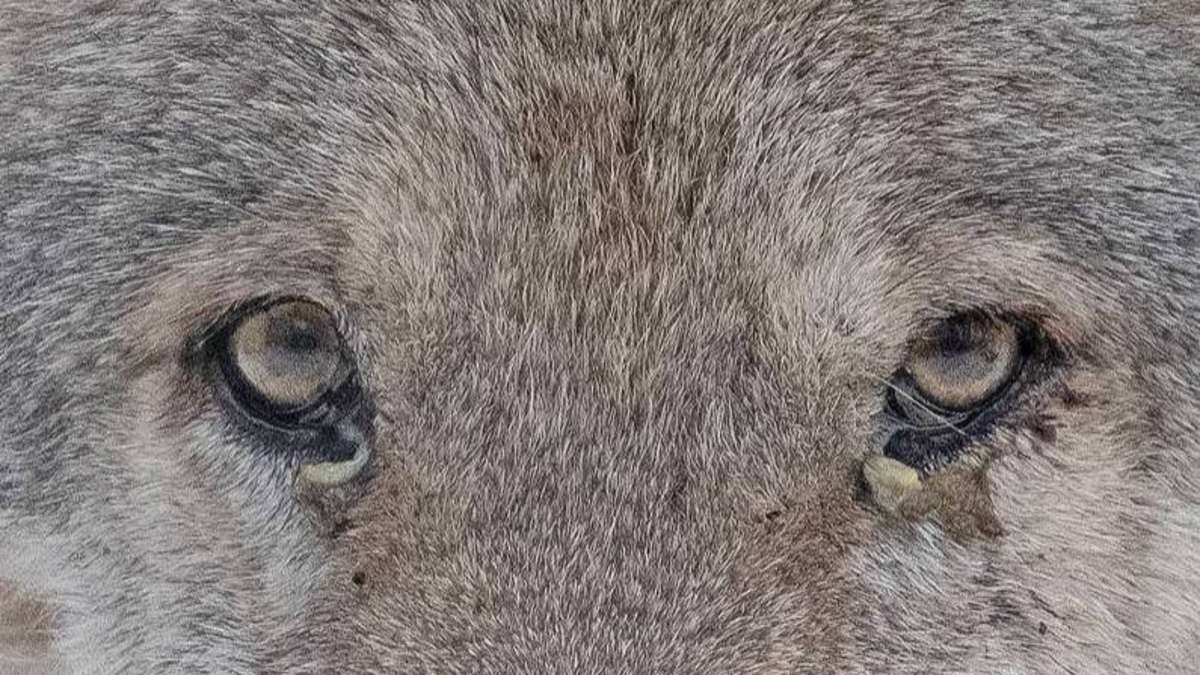 Isegrim kein Phantom mehr: Wolf macht neue Beute