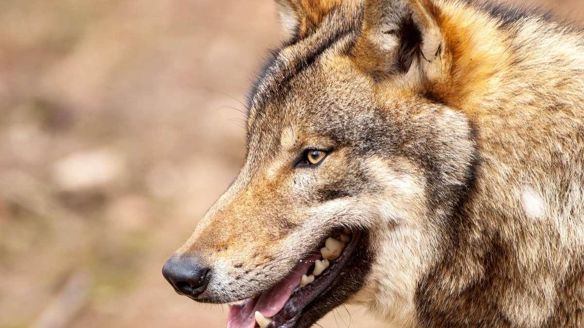 """Wolfssichtung hinterm Haus in Zießau? """"Sie sind näher als man denkt"""""""